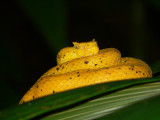 Eyelash Palm Pitviper - Bothriechis schlegelii