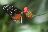 Cream Spotted Tiger Wing.jpg