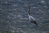 Blue Heron - Cuyahoga Valley National Park.jpg