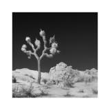Joshua Tree Sq #6 alt