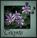 Tricyrtis @ Rick's Custom Nursery