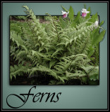 Ferns @ Rick's Custom Nursery