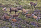 Red Deer stag and hinds