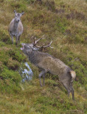 Red Deer stag and hind