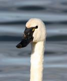 Tundra Swans at Magness Lake