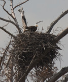 Bald Eagles at nest in England, AR
