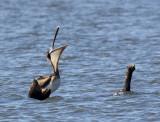 Brown Pelican at Lake Conway