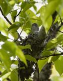 Blue-gray Gnatcatchers building a nest