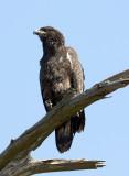 Juvenile Bald Eagle at Cane Creek
