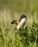 More Scissor-tailed Flycatcher photos
