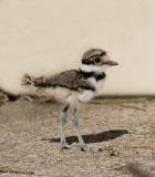 Baby Killdeer plus adults at work