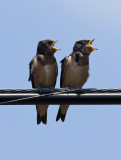 Hungry Barn Swallow babies at Kathy's pond