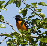 Baltimore Oriole at Murray Park