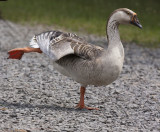 Domestic Goose at Kathy's Pond