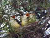 Babies Scissor-tailed Flycatcher