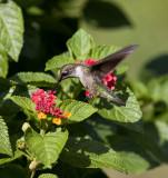 Hummingbirds 2009