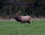 ELK AT BOXLEY VALLEY