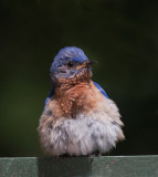 Baby Eastern Bluebirds and Parents