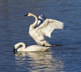 Trumpeter Swans at Magness Lake 2011
