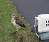 Red-tailed Hawk from Work - Fractured Elbow- Rehabbed and Returned to Work