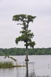 Cypress Tree in Lake Martin