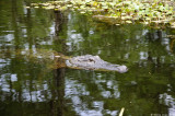 Small Alligator, Lake Martin