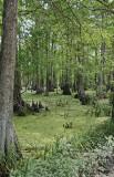 Swamp by Lake Martin