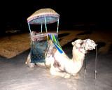 Camel at Desert Dinner, Dhahran