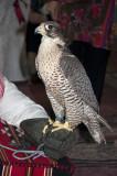 Falcon Unhooded at Desert Dinner, Dhahran