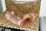 Tuzz first litter - S*Harimaus 2003