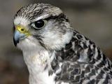 Peregrine falcon, Bossington (5919)