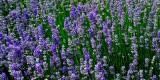 Lavender, own garden, Martock (2987)
