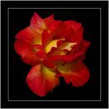 Red and yellow rose, Palm House Botanic Gardens, Belfast, N. Ireland