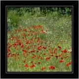 Poppy field, Bossington, Somerset