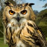 Indian Eagle Owl (2314)
