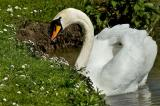 Swanning around Kingston Maurwood
