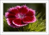 Sweet William, own garden