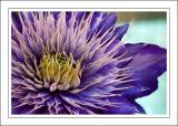 Spiky clematis