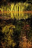 Reeds'n'rushes, Wayford Woods, Somerset