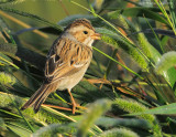 _NW80118 Clay Colored Sparrow