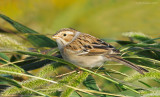 _NW80236 Clay Colored Sparrow
