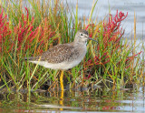 _NW89065 Lesser Yellow Legs ~ Fall Marsh
