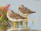 _NW89163 Greater Yellow Legs ~ Fall Marsh