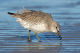 _NW83587 Red Knot Feeding.jpg