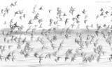 _NW82292 Shorebirds On The Move at Dawn.jpg