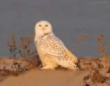 _NW83902 Snowy Owl at Dawn
