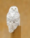 snowy_owls_12-6-08