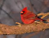 _NW85987 Northgern Cardinal Male at Dawn