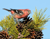 _NW86220 Male White Winged Crossbill