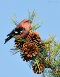 _NW86291 Male White Winged Crossbill